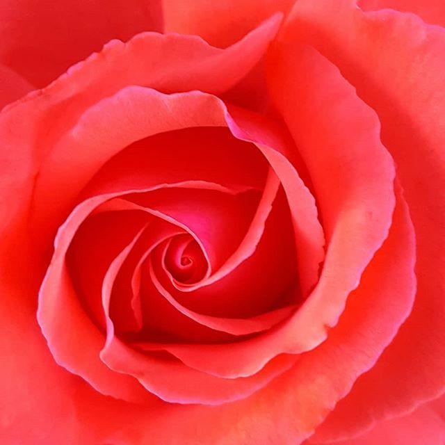Rose closeup, phone shot.jpg