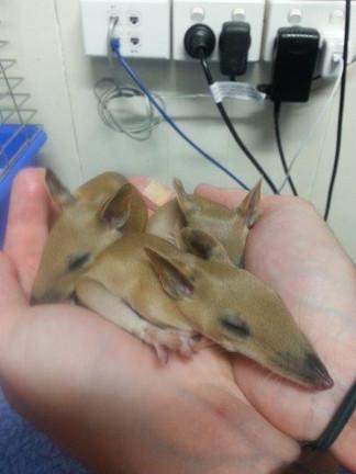orphaned baby bandicoots
