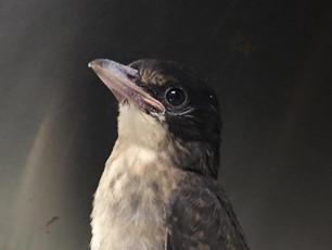 helping our native birdlife