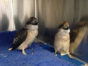 baby kookaburras