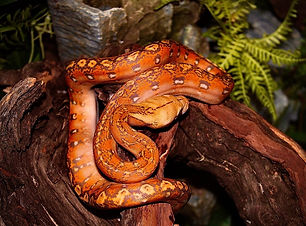 wix snake.jpeg