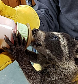 Baby Raccoon.jpg