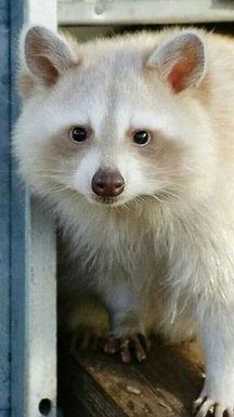albino raccoon.jpeg