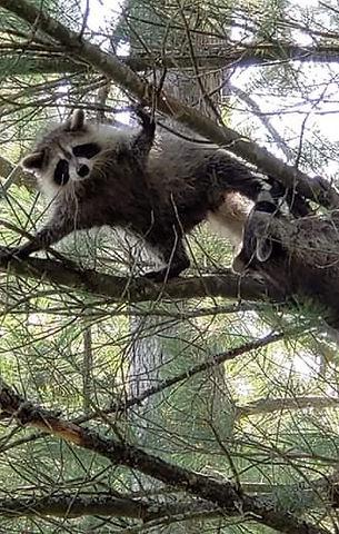 Released raccoons.jpg