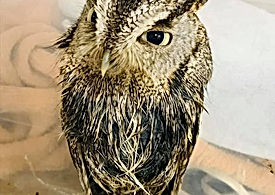 Screech Owl2.jpg