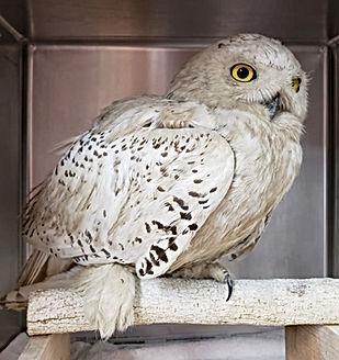 A very clean snowy owl.jpg