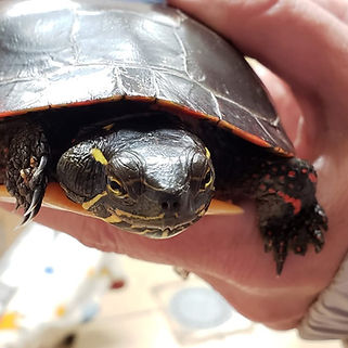 Turtle with an absess.jpg