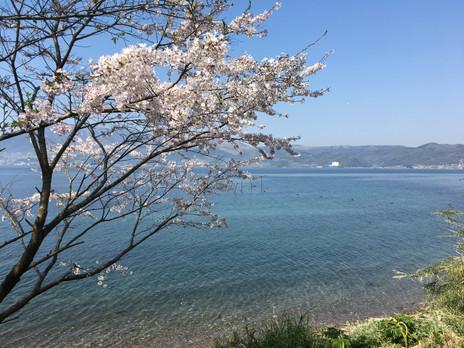 桜&別府湾