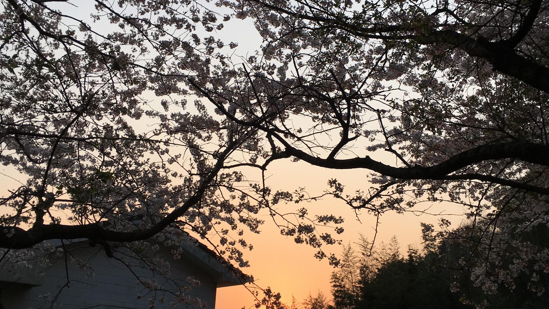 桜&サンセット