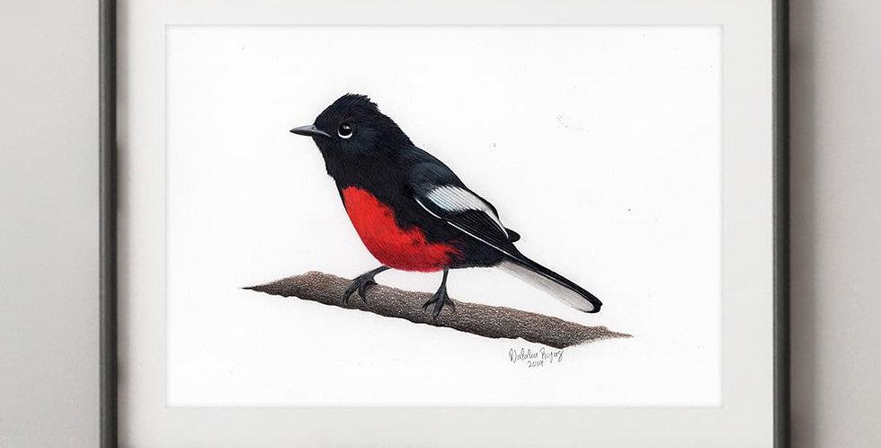 Painted Redstart (Myioborus pictus)