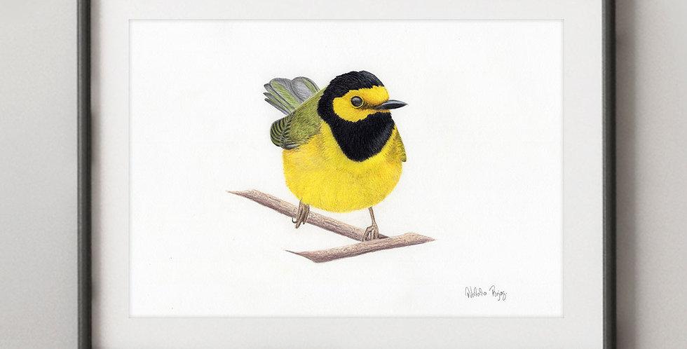 Hooded Warbler (Setophaga citrina)