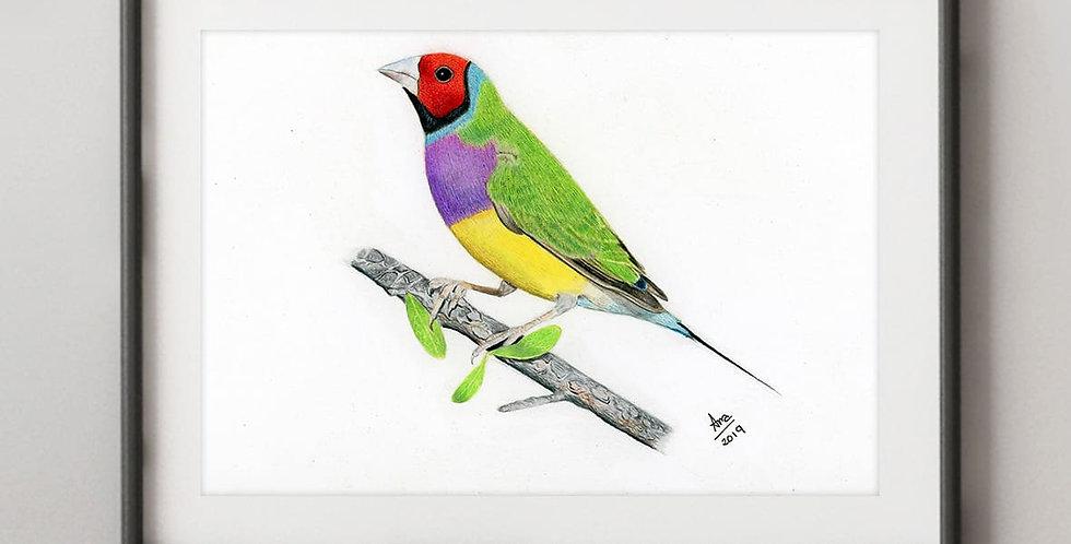 Gould's Finch (Chloebia gouldiae)