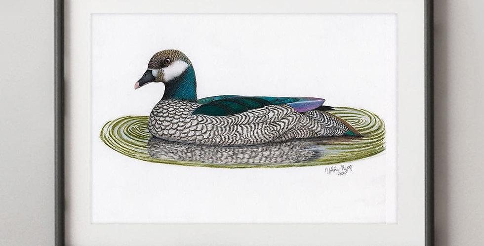 Green Pygmy-Goose (Nettapus pulchellus)