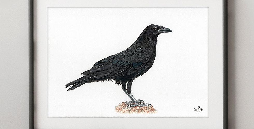 Chihuahuan Raven (Corvus cryptoleucus)