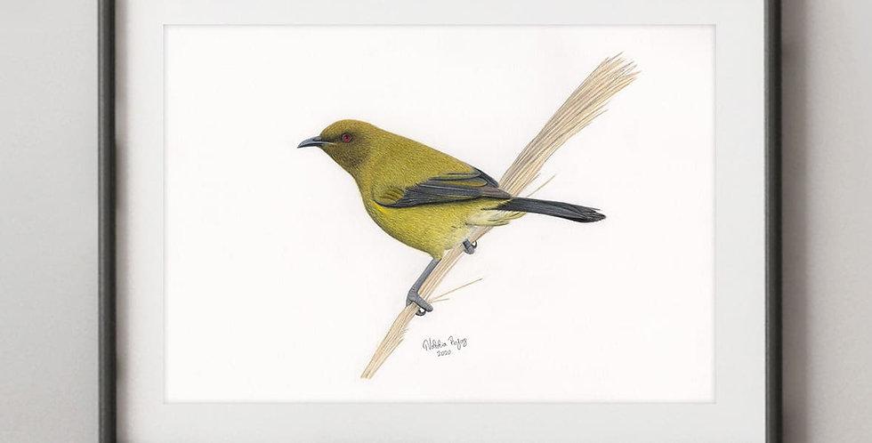 Korimako (Anthornis melanura)