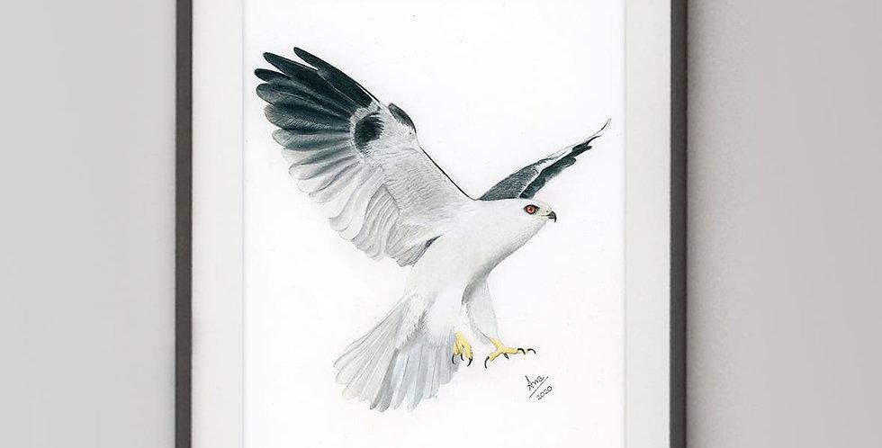 Black-Shouldered Kite ( Elanus axillaris)
