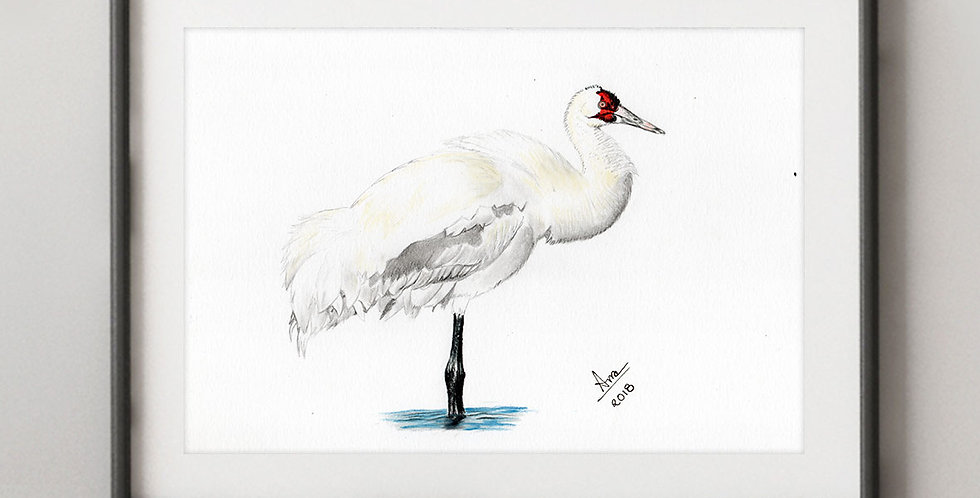 Whooping Crane (Grus americana)