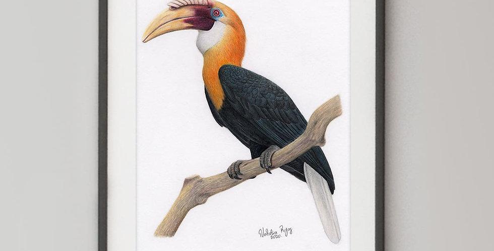 Blyth's Hornbill (Rhyticeros plicatus)