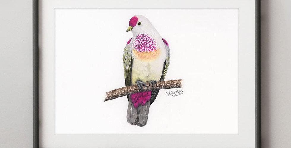 Many-colored Fruit-dove (Ptilinopus perousii)