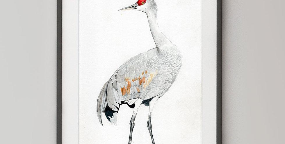 Sandhill Crane (Antigone canadensis)