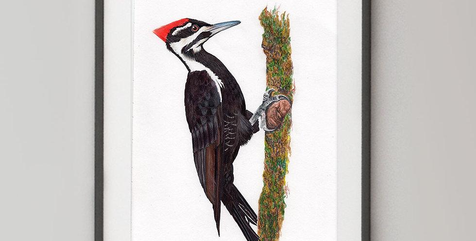 Pileated Woodpecker (Dryocopus pileatus)