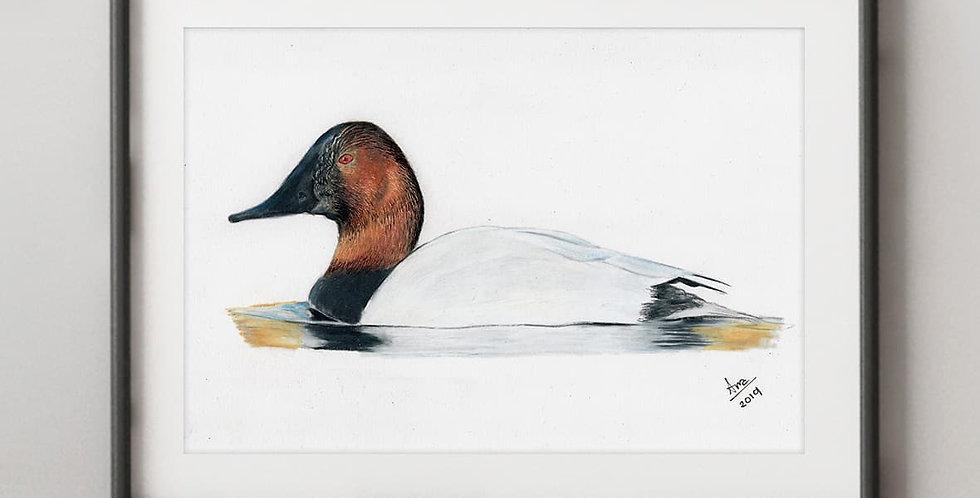 Canvasback Duck (Aythya valisineria)