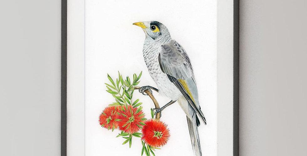 Noisy Miner (Manorina melanocephala)
