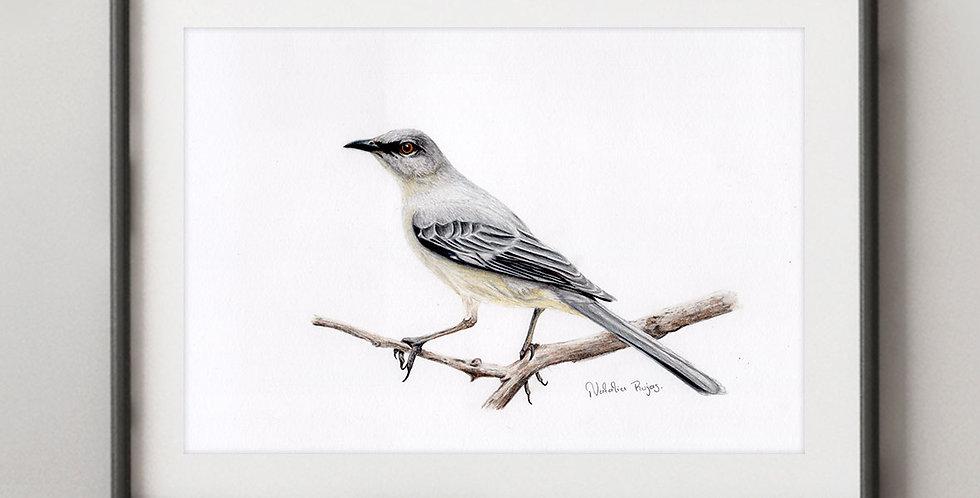Northern Mockingbird (Mimus polyglottos)