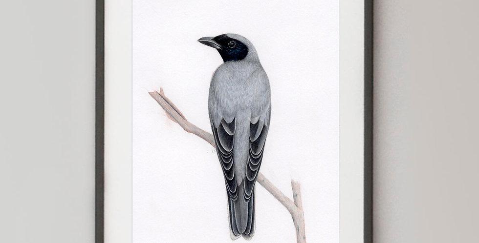 Black Faced Cuckooshrike (Coracina novaehollandiae)