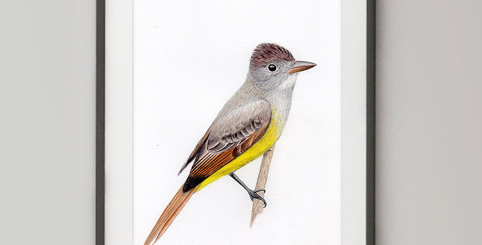 Great Crested Flycatcher (Myiarchus crinitus)