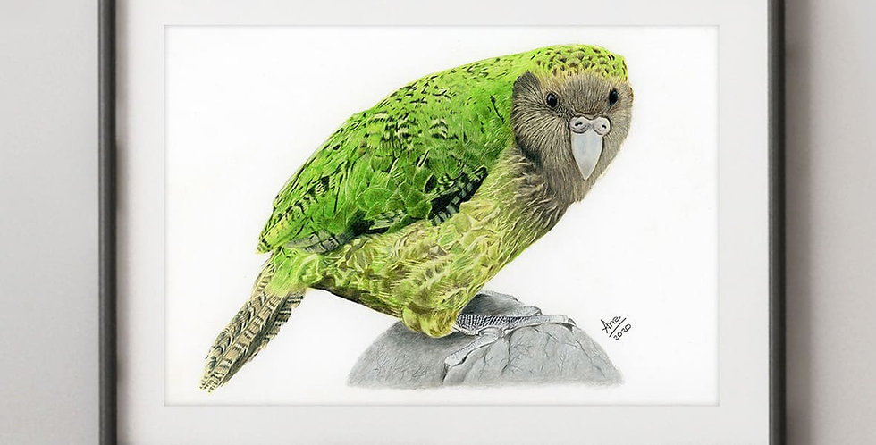 Kākāpō (Strigops habroptilus)