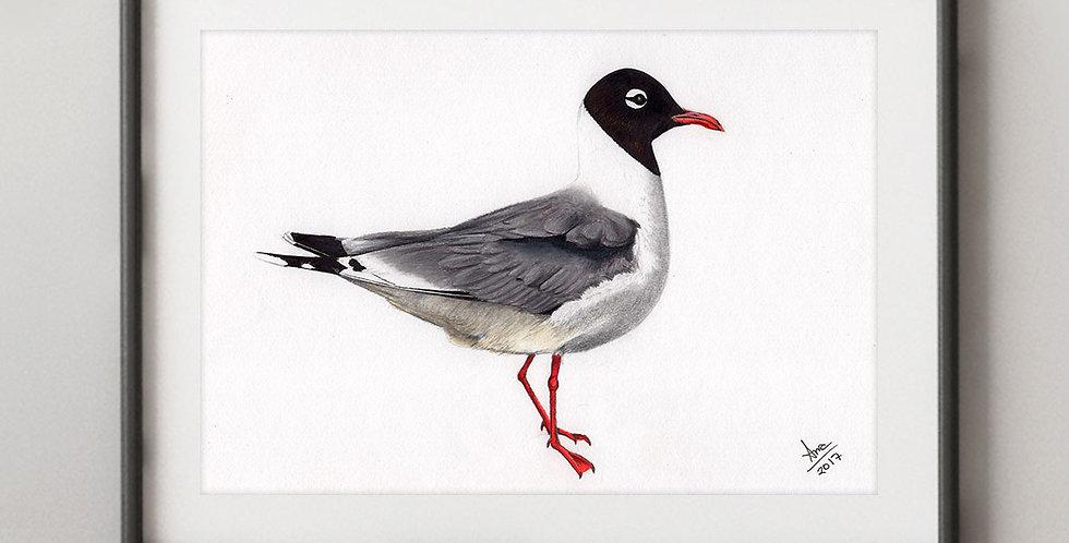 Franklin's Gull (Leucophaeus pipixcan)