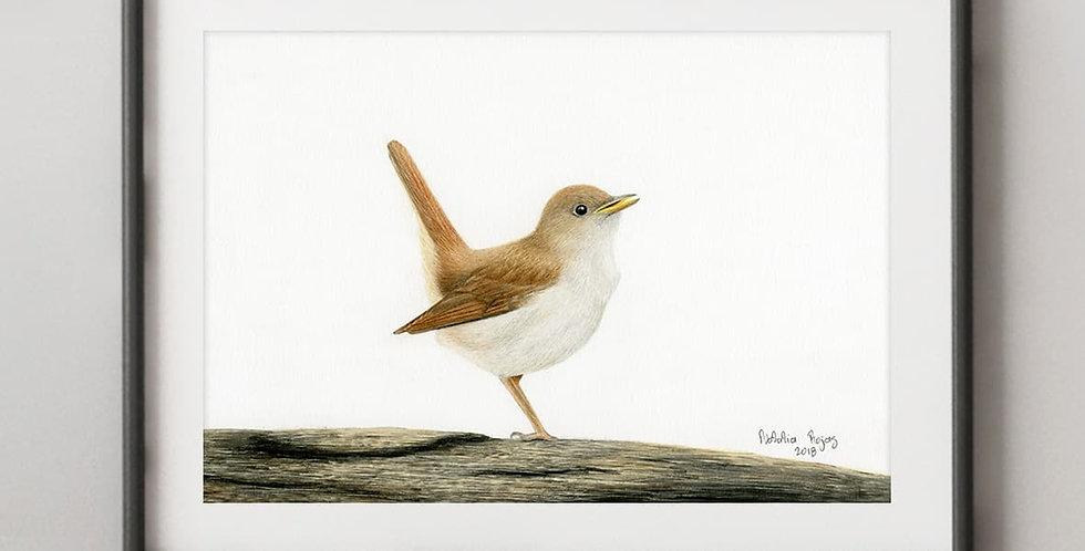 Common Nightingale (Luscinia megarhync)