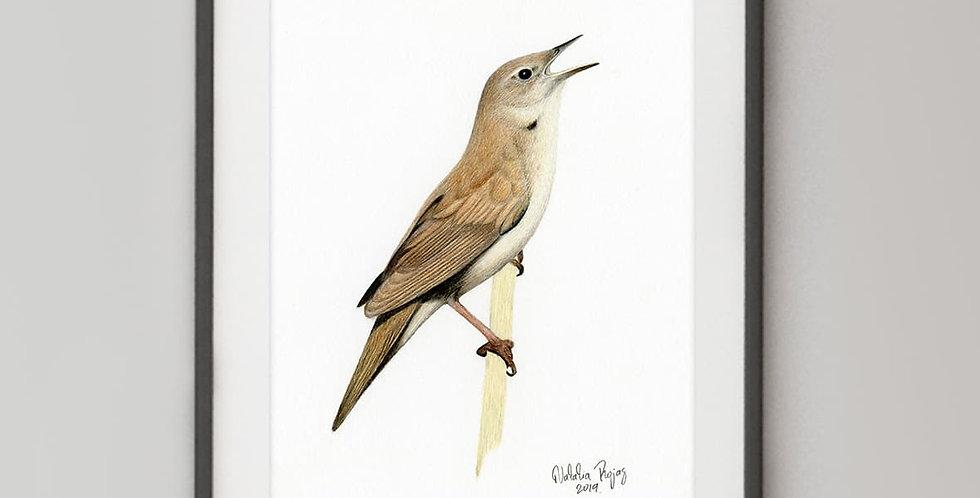 Savi's Warbler (Locustella luscinioides)