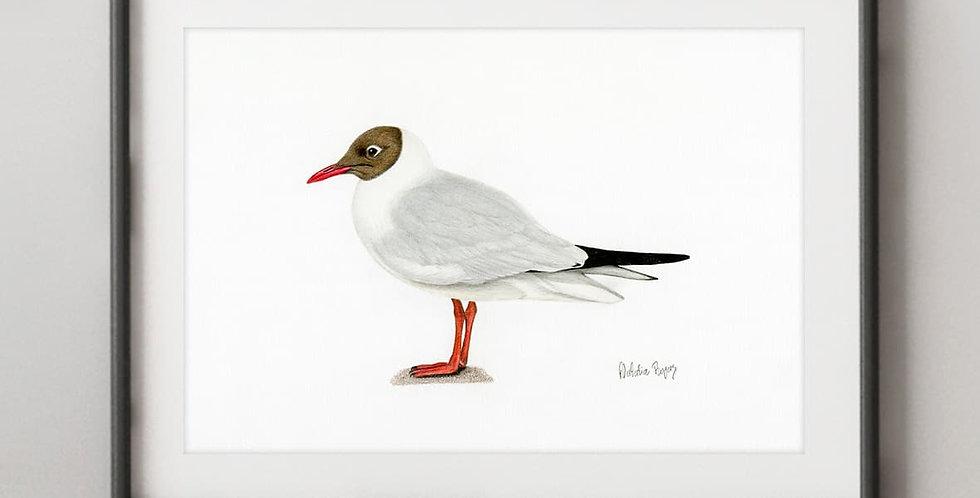 Black-headed Gull (Chroicocephalus ridibundus)
