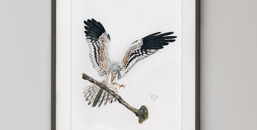 Montagu's Harrier (Circus pygargus)