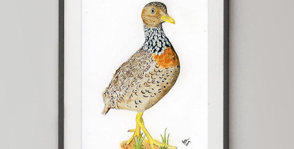 Plains-wanderer (Pedionomus torquatus)