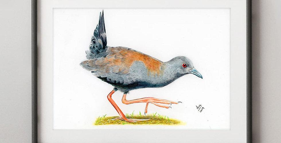 Spotless Crake (Porzana tabuensis)