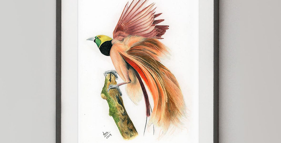 Count Raggi's Bird-of-Paradise (Paradisaea raggiana)