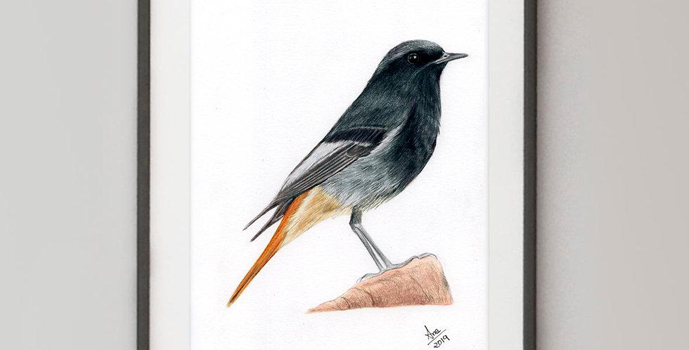 Black Redstart (Phoenicurus ochruros)
