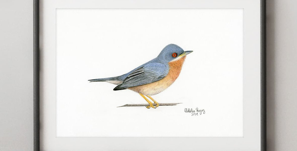 Moltoni's Warbler (Curruca subalpina)