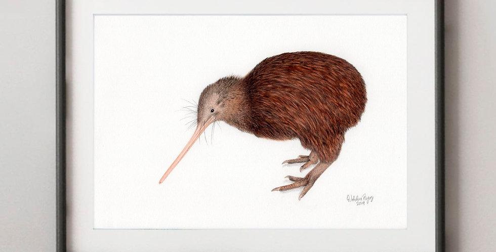 North Island Brown Kiwi (Apteryx mantelli))