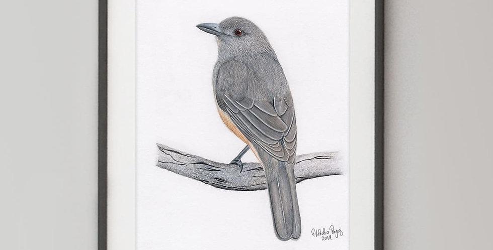 Grey Shrikethrush (Colluricincla harmonica)