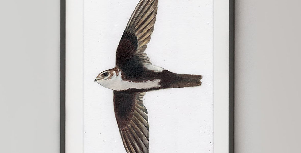 White-throated Swift (Aeronautes saxatalis)