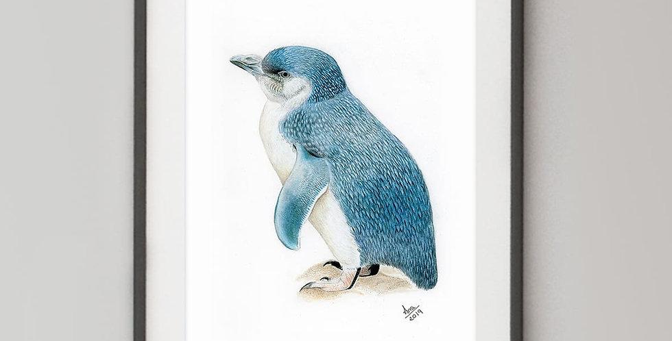 Little Penguin (Eudyptula minor)