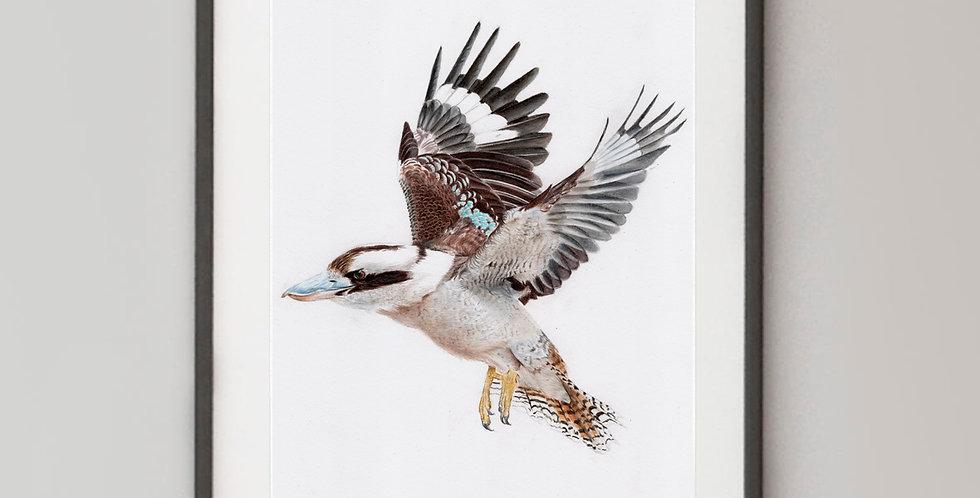 Laughing Kookaburra in Flight (Dacelo novaeguineae)