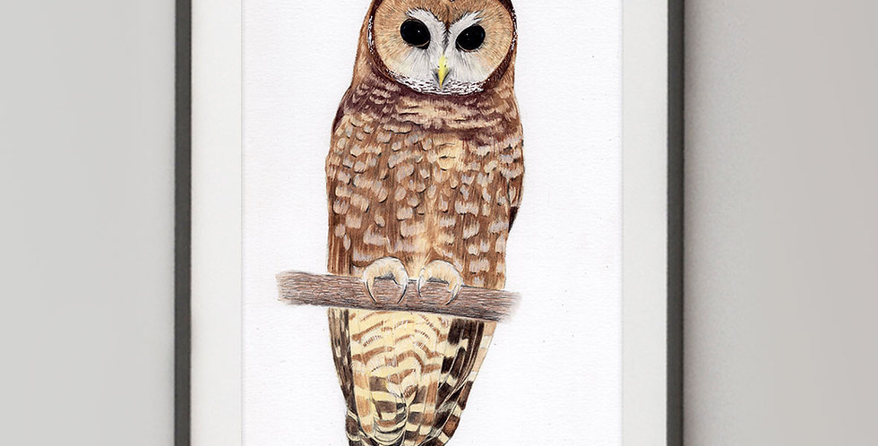 Spotted Owl (Strix occidentalis)