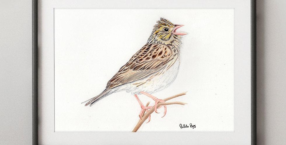 Baird's Sparrow (Centronyx bairdii)