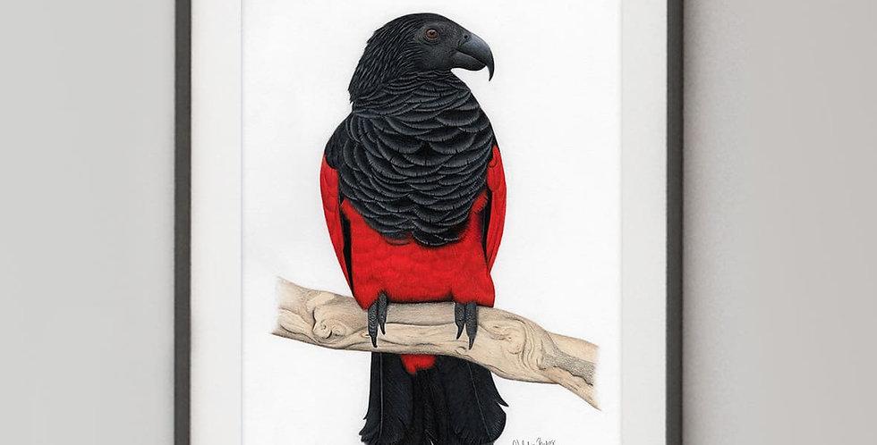 Pesquet's Parrot (Psittrichas fulgidus),