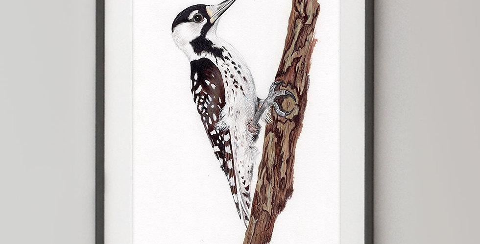 Red-cockaded Woodpecker (Leuconotopicus borealis)